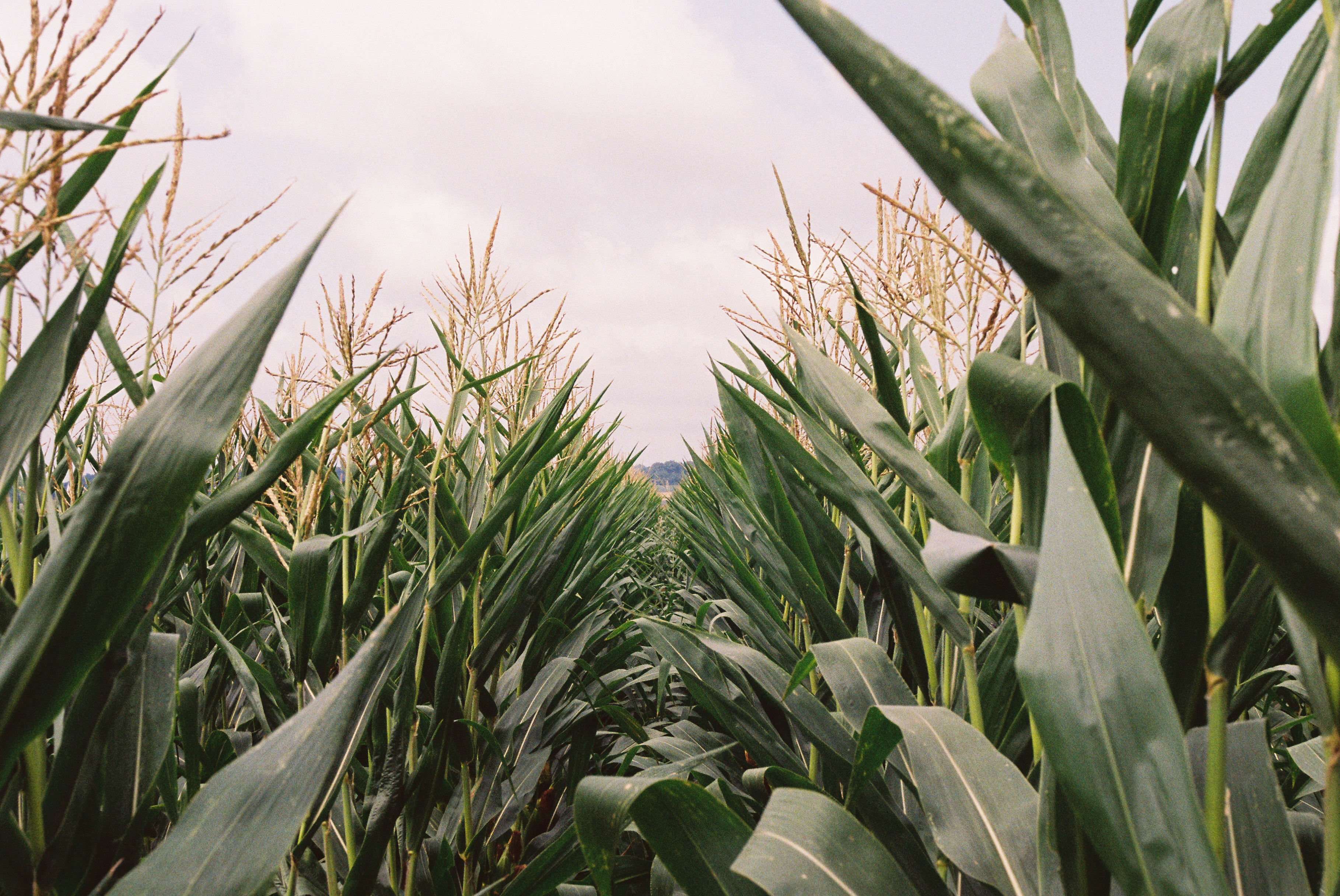 Industrial scale monocropping is commonly observed in our agricultural landscape