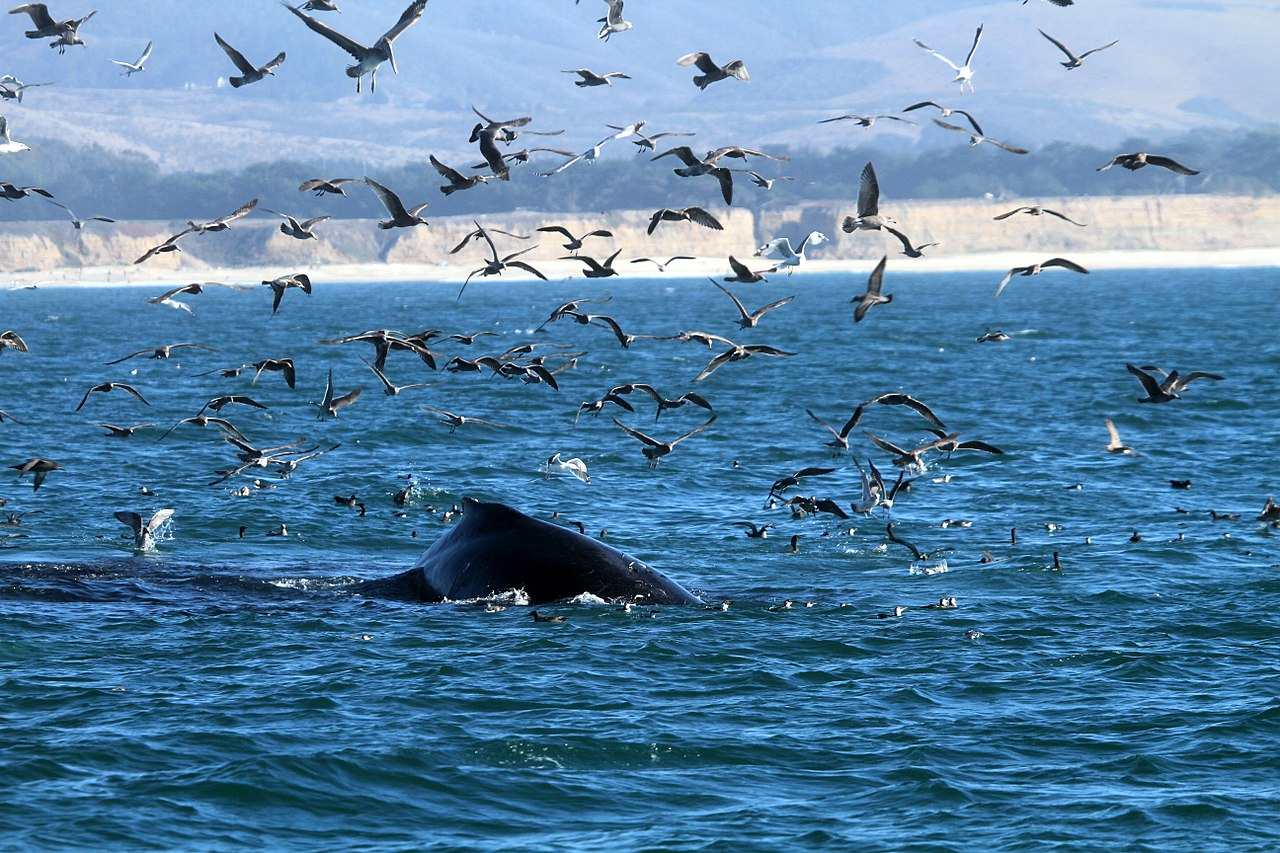Humpback whale and seabirds near San Jose, California. Photo: Greg Schechter, CC BY 2.0.