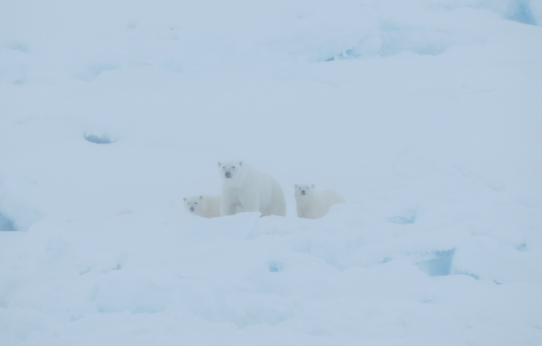 Polar bear with two young cubs in the snow