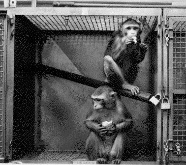 Two primates in a laboratory cage – a similar image to those shown by Nair during her presentation. USDA digital reproduction from Wikimedia.