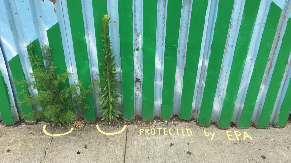 Protected by the EPA: wild urban plants living on the border between sidewalk and fence outside Environmental Performance Agency Headquarters, Crown Heights, Brooklyn, June 2017. Photo credit Catherine Grau/Environmental Performance Agency