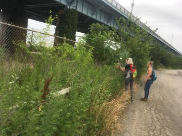 picking queen anne's lace under Platt Bridge