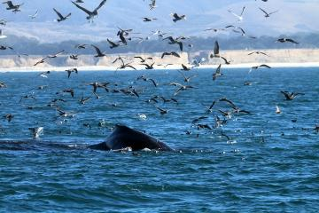 A humpback whale breaches a deep blue ocean surface with sea birds flying all around it.